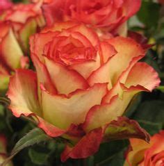 1000+ images about Fire n Ice on Pinterest | Fire and ice ... Fire And Ice Roses