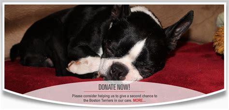 boston terrier puppies rescue boston terrier rescue canada we rescue boston terriers boston terrier mixes