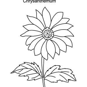 White Chrysanthemum Coloring Page Coloring Pages Chrysanthemum Coloring Pages