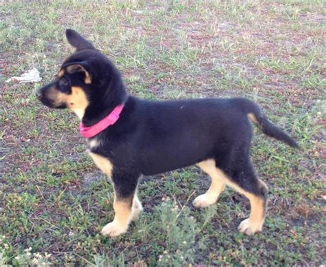 rottweiler german shepherd husky mix german shepherd husky mix puppies husky mix rottweiler