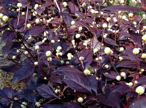 amaranthaceae purple knight altemanthera dentata