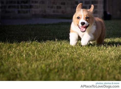 corgi puppies bay area 17 best images about corgi chaos on pembroke corgi munchkin cat and