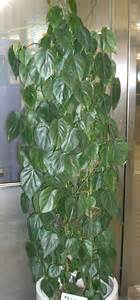 Cascading Indoor Plants plants amp flowers 187 heartleaf philodendron