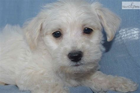 westiepoo puppies pin westie poo puppies now available on