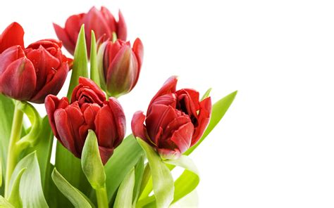 hd flower images tulip flowers hd wallpapers free download