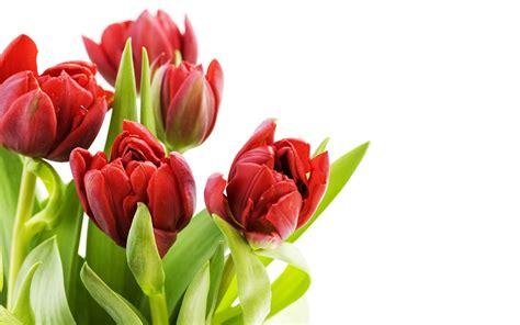 Tulip Flower Image Wallpaper #3901 Wallpaper computer best website wallpaperput.com