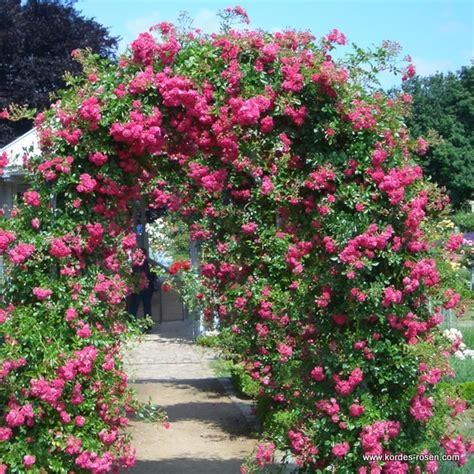 super excelsa gehlhaar gartenbaumschule hannover gt pflanzen gt rosen