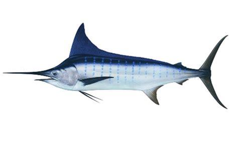 Patung Ikan Marlin Dan Layaran gambar logo ikan marlin 12 000 vector logos