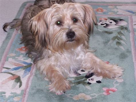 yorkie coton 17 best images about yorkie mix on adoption yorkie and coton de tulear