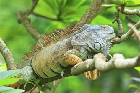 do iguanas change color what are some different types of iguanas with pictures