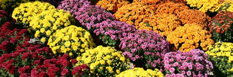 can fall mums survive frost fall is for 171 plant shed
