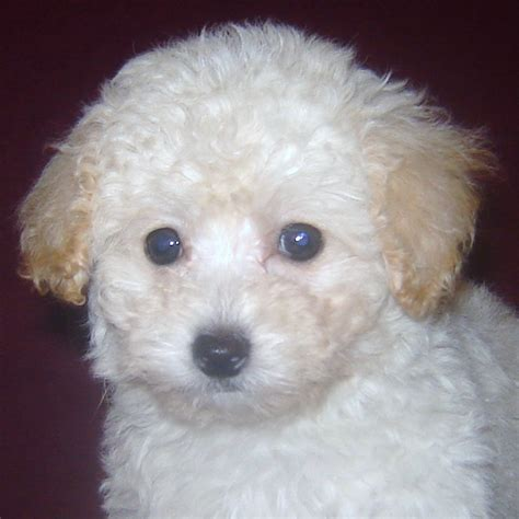 poodle for sale poodle puppies for sale