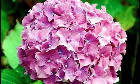 come curare l ortensia in vaso piante acidofile piante da giardino come curare le
