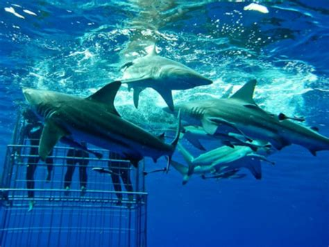 dive with sharks in south africa fly fighter jets more shark cage diving kzn things to do and activites in margate