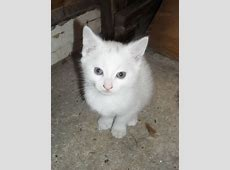 WHITE KITTENS FOR SALE | Norwich, Norfolk | Pets4Homes Kittens For Sale