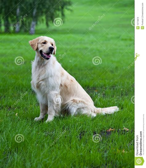 green golden retriever golden retriever on green grass stock photos image 10719873
