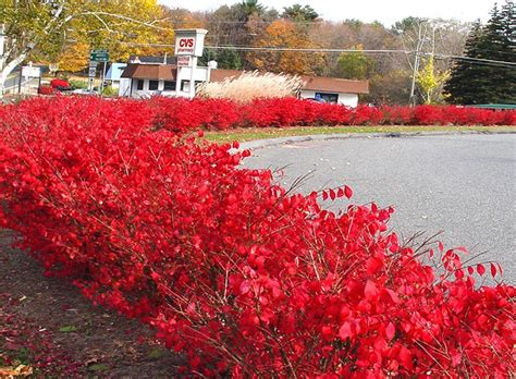 springfield plateau burning bush