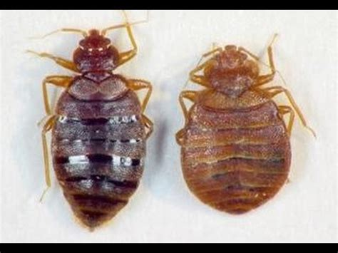 can salt kill bed bugs kill bed bugs with salt not traps youtube