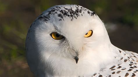 white owl white hd wallpaper animals wallpapers