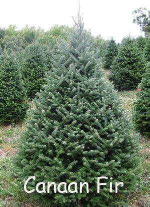 canaan fir tree google search random pinterest fir