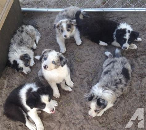 border collie puppies for sale indiana akc border collie puppies ready now for sale in glennville classified