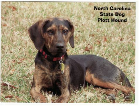 free dogs in nc carolina state plott hound breeds picture