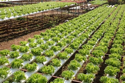 Organic vegetables hydro phonic Plantation are grown on