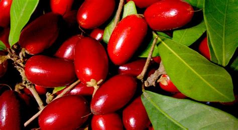 Benih Miracle Fruit Miracle Berry synsepalum dulcificum the miracle fruit that makes sour