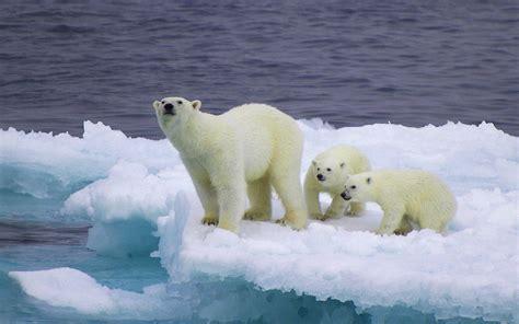 Bears White baby polar wallpapers wallpaper cave