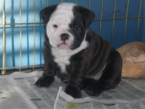 dogs for sale in las vegas lucky 7 bulldogs las vegas nv 89135 business listings directory powered