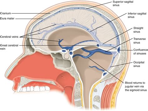 sinus diagram skull in sinus cavity locations sinus anatomy skull