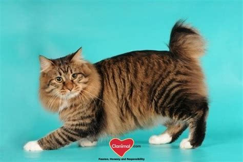 living large breeds large breeds of cats what there is to clanimal