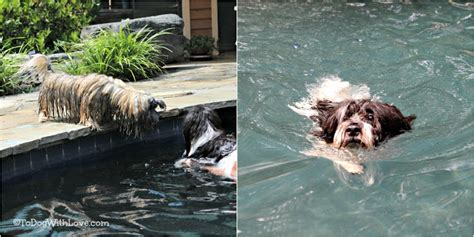 can havanese swim to with small dogs can learn to swim