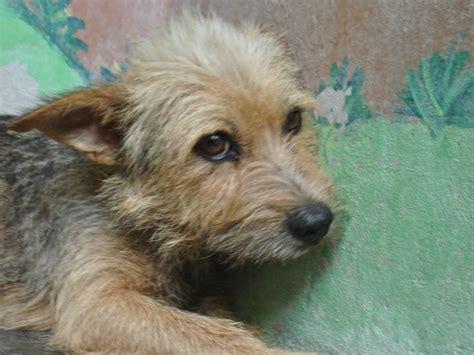 pics of long hair dark browm terriers rat terrier long hair the best rat of 2018