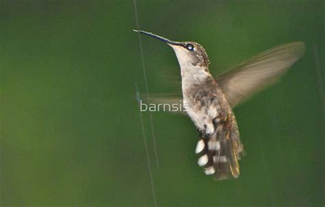 where do hummingbirds go in the rain bs photography