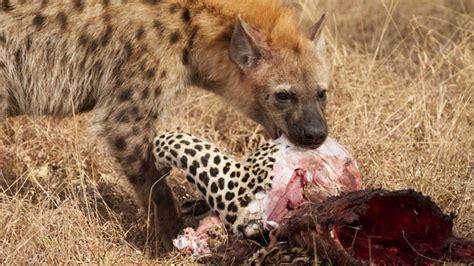 Animal P by Discovery Animals Documentary Hyenas Prey