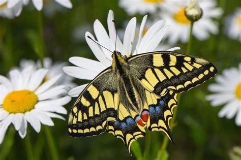 imagenes mariposas mas bonitas mundo banco de im 225 genes para ver disfrutar y compartir las