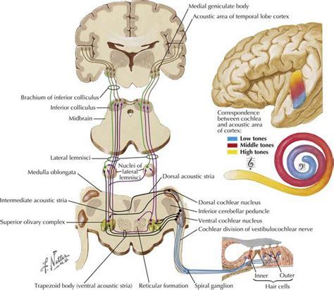 vestibulocochlear reflex cranial nerve viii neupsy key