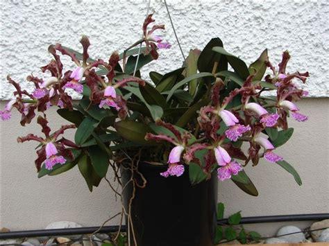 Cattleya Maxy cattleya schilleriana var maxi der orchideen strau 223