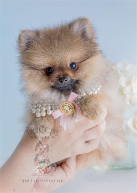 teacup pomeranian vs pomeranian the teacup pomeranian does it exist and if so it is a breeds picture