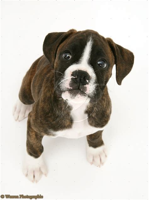 brindle puppies dogs brindle boxer puppies
