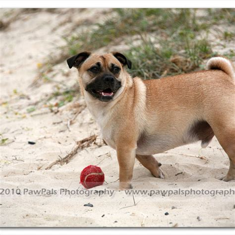 pug sydney ben the x pug sydney pet photographer pet photography