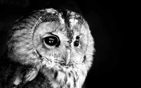 black and white owl wallpaper black owl photo white monochrome face eyes feathers