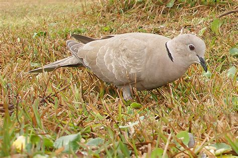 ringed turtle dove ebirdr