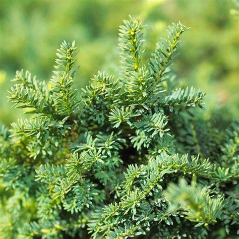 piante da giardino prezzi piante da siepe prezzi siepi piante siepe prezzi