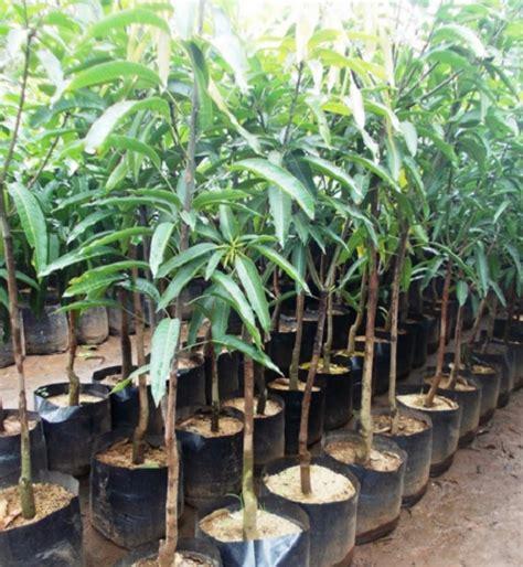 Bibit Pohon Mangga cara menanam pohon mangga dari biji bibitbunga