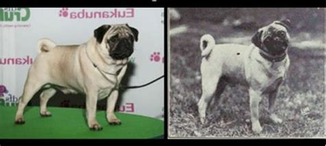 taking care of a pug pet dogs cats fishes and small pets evolution of breeds from 1915 to