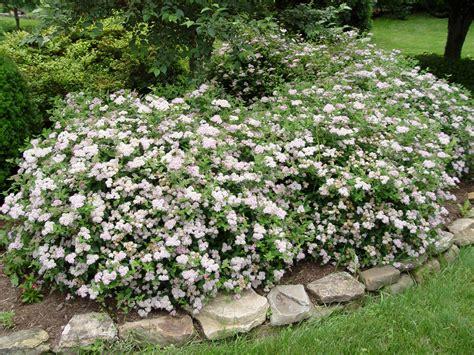 Flowering Shrubs For Small Gardens Spirea Princess Garden Housecalls