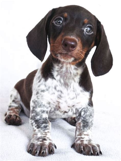 mini weiner 25 best ideas about piebald dachshund on baby dachshund weenie dogs and