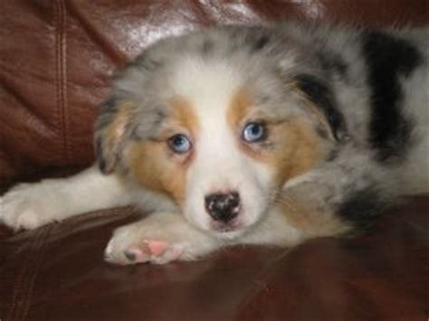 australian shepherd puppies for sale in iowa miniature australian shepherd puppies for sale in iowa breeds picture